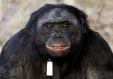Канзи - бонобо из Айовы