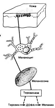 Меланогенез - в меланосомах, передаваемых кератиноцитам