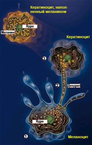 Меланин - кератиноциты - цвет кожи