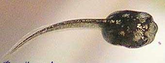Пигментация амфибий и рыб напрямую зависит от гормонов гипофиза