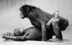 Так шимпанзе-бонобо делают себе детей