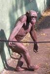 Шимпанзе на своих-двоих