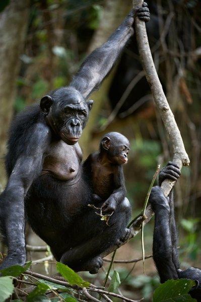 Материнство шимпанзе