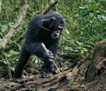 Шимпанзе орудует палкой
