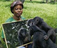 Шимпанзе смотрятся в зеркало
