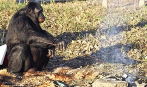 30-летний шимпанзе Канзи научился сам разводить и поддерживать огонь, жарит на нём овощи и мясо