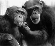 Шимпанзе Уошо учит языку жестов своего ребёнка