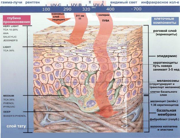 Объёмная картина базальной мембраны