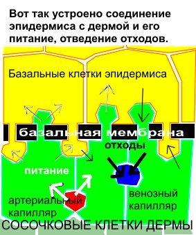 Питание эпидермиса - схема