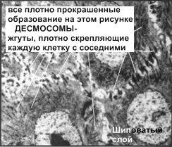 Эпидермис - десмосомы шиповатого слоя