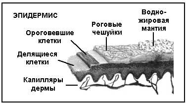 Структура эпидермиса просто