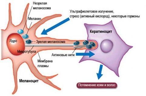 Эпидермис -меланизация - передача меланосом
