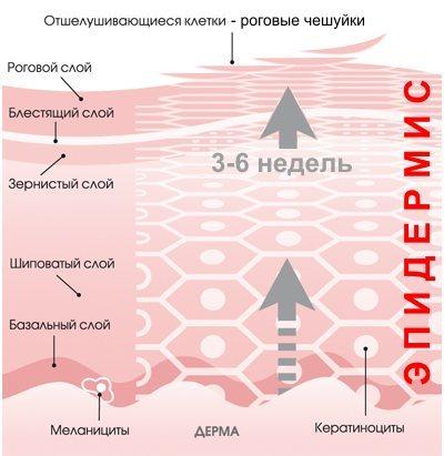 Эпидермис - вечное движение к поверхности