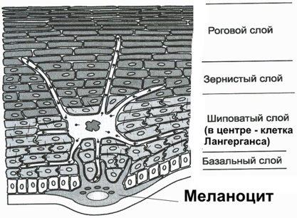 Эпидермис - структурная единица