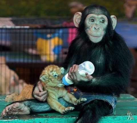 Высокоморальные шимпанзе бонобо