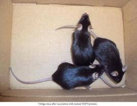 Мыши, вылеченные от витилиго