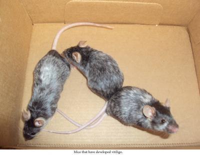 Мыши с признаками витилиго